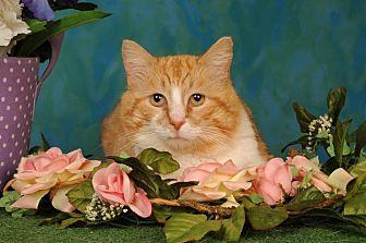 Domestic Shorthair Cat for adoption in mishawaka, Indiana - Tater