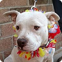 American Bulldog/Terrier (Unknown Type, Medium) Mix Dog for adoption in Detroit, Michigan - Betty