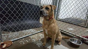 Bull Terrier/Boxer Mix Dog for adoption in Calgary, Alberta - FRESO