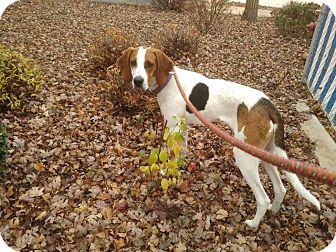 Treeing Walker Coonhound Mix Puppy for adoption in Meridian, Idaho - Yogi