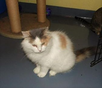 Calico Cat for adoption in Frenchburg, Kentucky - Sybil