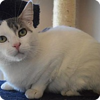 Domestic Shorthair Cat for adoption in Livonia, Michigan - Draco