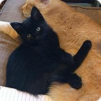 Domestic Mediumhair Kitten for adoption in Lafayette, Louisiana - Velcro