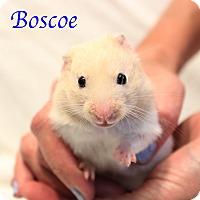Adopt A Pet :: Boscoe - Bradenton, FL
