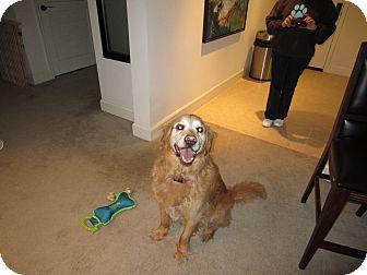 Golden Retriever Dog for adoption in Phoenix, Arizona - Sunni