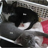 Adopt A Pet :: Ivy - Portland, OR