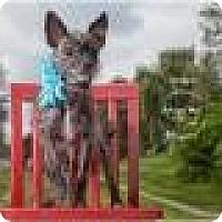 Adopt A Pet :: Lil' Bit Maggie - Shawnee Mission, KS