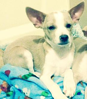 Whippet/Chihuahua Mix Dog for adoption in Dallas, Texas - Jay-D