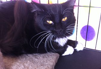 Domestic Mediumhair Cat for adoption in Sacramento, California - Honey B