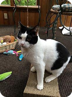 Domestic Shorthair Cat for adoption in Acushnet, Massachusetts - Daisy