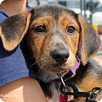 Adopt A Pet :: Haley - Bedford, VA
