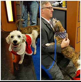 Poodle (Miniature) Mix Dog for adoption in Troutville, Virginia - Sugar & Scrappy BONDED PAIR