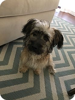 Yorkie, Yorkshire Terrier Mix Dog for adoption in Fort Atkinson, Wisconsin - Abe