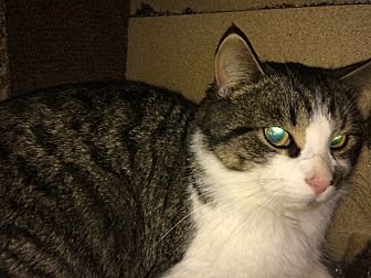 Domestic Shorthair Cat for adoption in Montreal, Quebec - Gustave