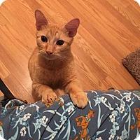 Adopt A Pet :: Tangelo (BG) 3.1.16 - Orlando, FL