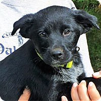 Adopt A Pet :: Ollie - Chicago, IL