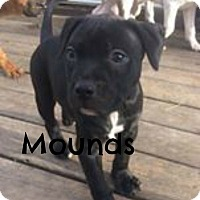 American Pit Bull Terrier Puppy for adoption in Des Moines, Iowa - Mounds