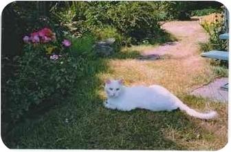 Domestic Shorthair Cat for adoption in Duncan, British Columbia - Walter