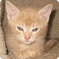 Adopt A Pet :: Butterscotch - Dallas, TX