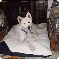 Adopt A Pet :: Nookie - Arvada, CO