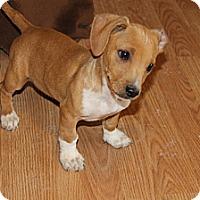 Adopt A Pet :: Winston - Fountain, CO