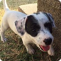 Adopt A Pet :: Natasha In Dallas/Ft Worth - Dallas/Ft. Worth, TX