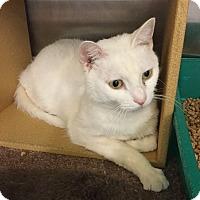 Adopt A Pet :: Snow White - Colmar, PA
