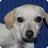 Chihuahua Mix Dog for adoption in Phelan, California - Colby