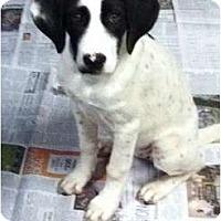 Adopt A Pet :: Amie - Ooltewah, TN
