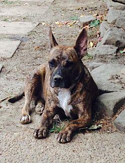Boxer/Corgi Mix Dog for adoption in Olive Branch, Mississippi - Fred
