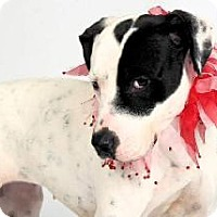 American Staffordshire Terrier Mix Dog for adoption in Richardson, Texas - Carlie
