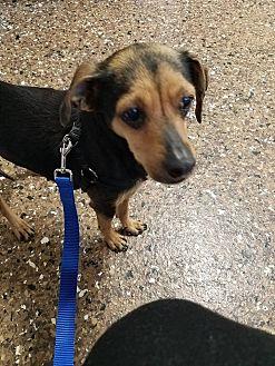 Dachshund/Chihuahua Mix Dog for adoption in Rosamond, California - Nala