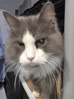 Russian Blue Cat for adoption in Fredericksburg, Virginia - Sweet Pea