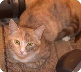 Calico Cat for adoption in Pelham, Alabama - Kimi