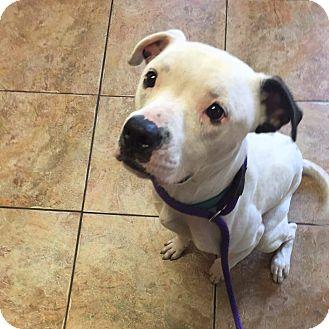 American Bulldog Mix Dog for adoption in Jacksonville, Florida - Action Jackson