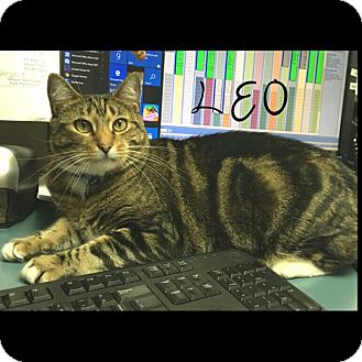 Domestic Shorthair Cat for adoption in Great Neck, New York - Leo