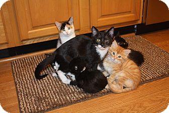 Domestic Mediumhair Kitten for adoption in St. Louis, Missouri - Hawkeye