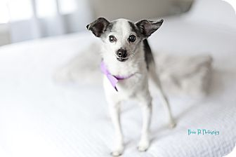 Terrier (Unknown Type, Small) Mix Dog for adoption in Boise, Idaho - Miles