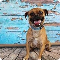 Adopt A Pet :: Foghorn - Yucaipa, CA