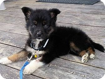 German Shepherd Dog Mix Puppy for adoption in Winnipeg, Manitoba - MONTIE