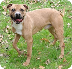 American Staffordshire Terrier/Labrador Retriever Mix Dog for adoption in Chicago, Illinois - Chaco