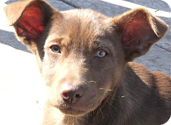 Terrier (Unknown Type, Small) Mix Puppy for adoption in Norwalk, Connecticut - Frieda - Adopted!