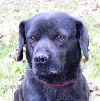 Beagle/Basset Hound Mix Dog for adoption in Mocksville, North Carolina - Sherman