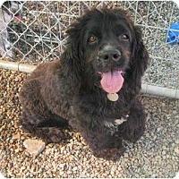Adopt A Pet :: Scamp - Chandler, AZ