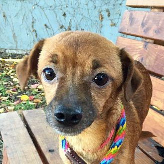 Chihuahua Mix Dog for adoption in Surrey, British Columbia - Maxwell