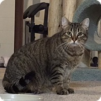 Domestic Shorthair Cat for adoption in Grove City, Ohio - Cubby