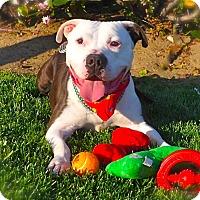 Adopt A Pet :: Good-looking Buddy - Los Angeles, CA