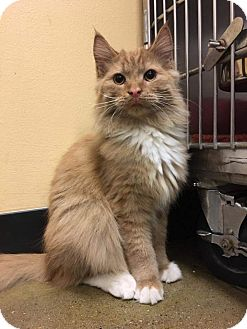 Domestic Longhair Cat for adoption in Irwin, Pennsylvania - Cane
