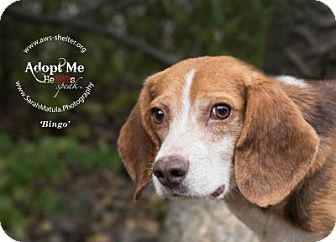 Beagle Mix Dog for adoption in New Milford, Connecticut - Bingo