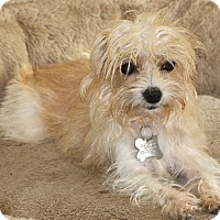 Adopt A Pet :: Lark - MEET ME - Norwalk, CT